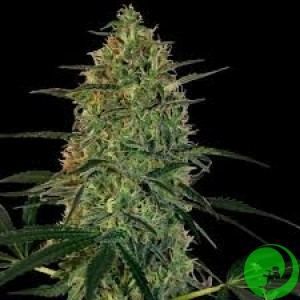 Auto Dr. Grinspoon Feminised