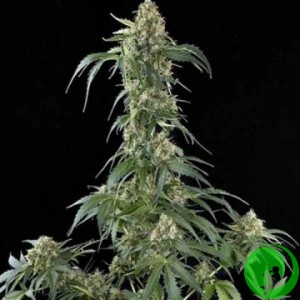 Auto Jack Herer Feminised